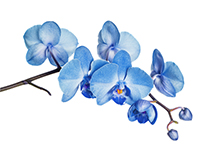 Lotus, Bluebells, Blue Orchid